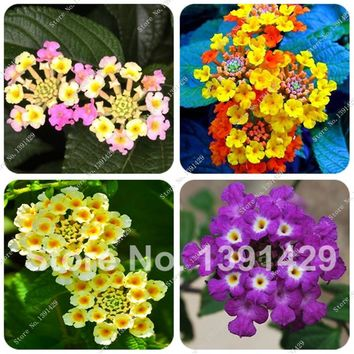 New Arrival !!! 30 PCS Multi Color Optional Lantana Camara Seed Bonsai Flower for Indoor Rooms  Easy Grow Plant  in High Quality
