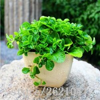 200 Lemon Mint Seeds potted flowers and plants  seasons seeds edible flowers in bonsai