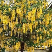 Golden Chain Tree|Spring Hill Nursery