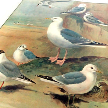 School Poster, Home Decor, Seaside Birds, Gulls, Terns, Kittiwakes, Beach hut, Macmillans School Poster, Macmillans Nature Class Pictures