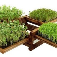 Miniature Indoor Herb Garden with Clover, Cress, Lettuce & Mustard