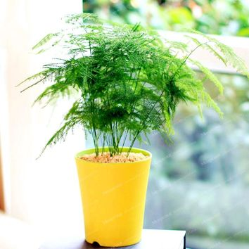 30Pcs Asparagus Fern Tree Seeds  Evergreen Indoor Potted Plants Bonsai Seeds For Home Garden  A Symbol Of Eternity Easy To Grow