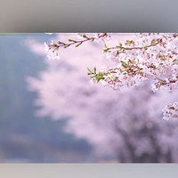 Cherry Blossom - Photography Backdrop