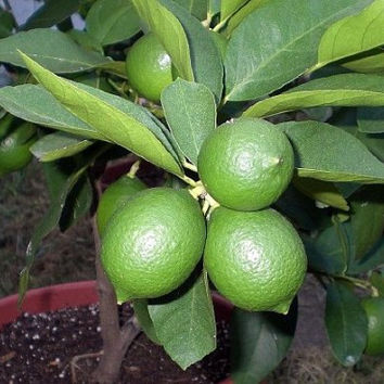 15 Edible Fruit Lime( Green Lemon Seeds), Exotic Citrus Bonsai,Lime Tree Fresh Seeds,Exotic Fruit Seeds,Fruit Tree Seeds