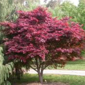 Burgundy Lace Upright Red Japanese Maple