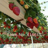 500 Climbing Red Strawberry Seeds With SALUBRIOUS TASTE * NON-GMO Strawberry Mount Everest* EDIBLE * Fruit,Heirloom Vegetables