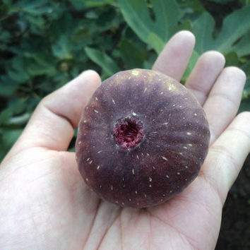 6 Purple Fig Seeds, Ficus Carica, Rare Exotic Fruit Seeds Annual  - Home Garden Vegetables DIY Decor Cuisine Plant Houseplant Good Taste