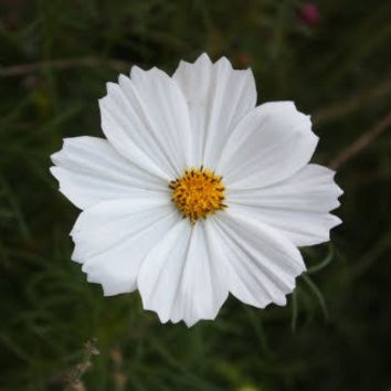 Cosmos Psyche White, Flower Seeds, Attracts Butterflies, 20 Seeds
