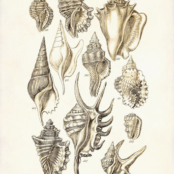 Seashells 3 - A Victorian Era George Sowerby  Scientific Illustration Art Print