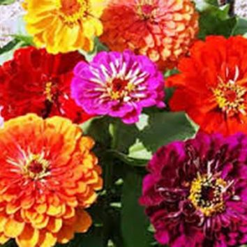 ZINNIA CALIFORNIA GIANT 100+ SEEDS HUGE BLOOMS OF BRIGHT COLOR