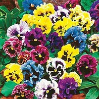 Frizzle Sizzle Pansy Mix|Spring Hill Nursery