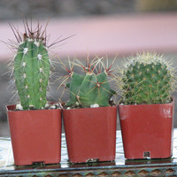 Three mini Cactus Plant