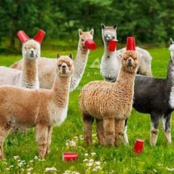 Avanti Alpaca Greeting Card - Six-Paca