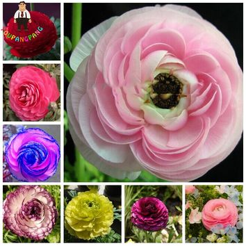 100pcs Rouge Ranunculus Flower Seeds , Home DIY Persian Buttercup Plant Seeds , Flower Bulbs Free Shipping