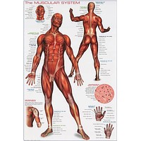 Muscular System Anatomy Poster 24x36