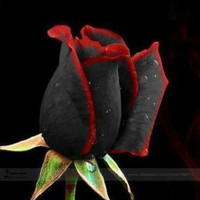 Free shipping 100 Seeds / Pack, Rare Beautiful Black Rose Flower seeds with Red Edge Seedling Seed