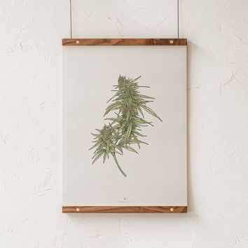 Cannabis Botanical Illustration Print