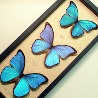 Real Framed Giant Blue Morpho Collection 3 Butterflies 8111