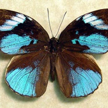 Real Rare Amazing Blue Framed African Butterfly 254