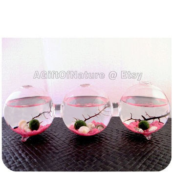 MARIMO MOSS BALLS - Lovely Spring Pink Japanese Marimo Moss Ball 3-Globe Attached Triple Aquarium Seashell Sea Coral Housewarming Gift cij