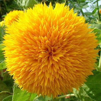 15 Teddy Bear Sunflower Seed Yellow Semi Dwarf Helianthus Garden Beautiful Heirloom Rare Exotic Plant DIY Decor