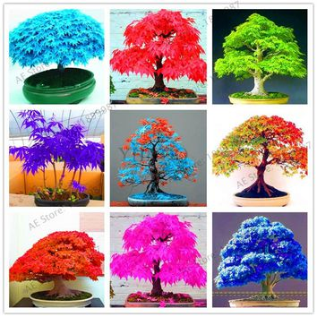 50pcs,Mini mixed colors Japanese maple tree flores DIY Bonsai plant for office,balcony,bedroom,and home garden.