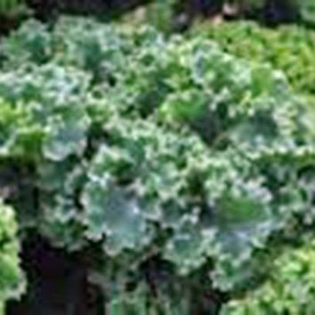 KALE, VATES BLUE CURLED SCOTCH, ORGANIC 50+ SEEDS, GREAT FOR SALADS, COOKING