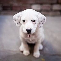 Marina del Rey, CA - Labrador Retriever/American Bulldog Mix. Meet Coconut a Puppy for Adoption.