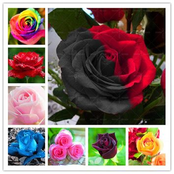 Loss Promotion!!!200pcs/bag rare color rose seeds rainbow black blue rose home Garden Perennial plant flower exotic bonsai seeds