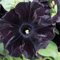 100 Black Velvet Petunia Rare Flower Seeds Annual Bonsai Balcony Garden House Decor Plant DIY Grow Potted