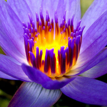 30 Purple Fire Lotus Water Lily Flower Seeds | Hydroponic Plant | Raw Seed Nymphaea Nelumbo Nelumbo Nucifera Pond Plants Flower Garden Decor