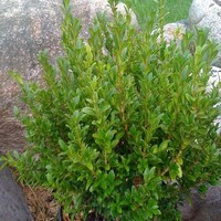 OnlinePlantCenter, 1.5 gal. Wee Willie Boxwood Shrub, B302615 at The Home Depot - Tablet