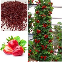 500 PCS Red giant Climbing Strawberry Seeds Fruit Seeds For Home & Garden DIY rare seeds for bonsai Fruit and Vegetable Seeds