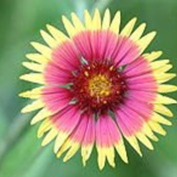 Indian Blanket Wildflower Seeds- 1# Full Pound of a Pound Bulk Gaillardia Pulchella