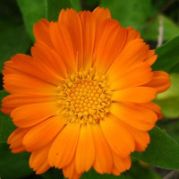 Calendula Officinalis English Marigold Flowers - 100 Seeds