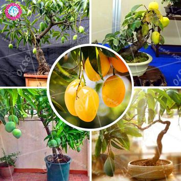 Mango Seeds Delicious Fruit Seeds Bonsai tree seeds Perennial indoor Subtropocics For Home Garden pot plant easy grow 2pcs