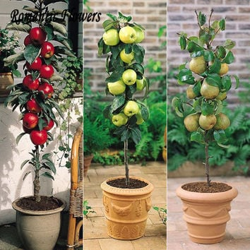 30pcs Apple Bonsai Fruit Trees Of Rare Bonsai Tree - America Red Delicious Apple Seed Planted Garden Pots