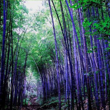 50 Bamboo Seeds Rare Purple  Ideal Ornamental DIY Home Garden Plant  Very Fresh Free Shipping