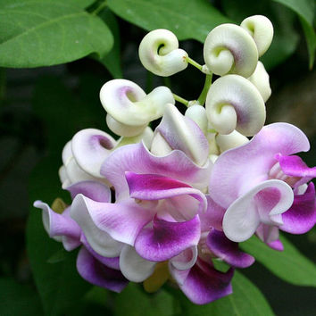 Fragrant Corkscrew Vine, Vigna caracalla, Phaseolus caracalla, 5 rare seeds, tropical climber, colorful blooms, zones 10 to 11, houseplant