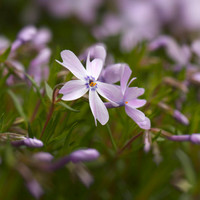 Nature Photography - Spring Flowers - Purple - Soft - Close Up - Home Decor - Flower Photograph - Wall Art - Lavender - Floral