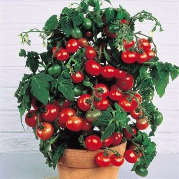 200 pcs Rushed New Outdoor Plants Promotion Garden tomato seed Potted Bonsai Balcony fruit Vegetables seed