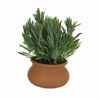 Love Lavender in Clay Pot Plant