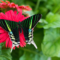 Green Banded Butterfly Photography Print