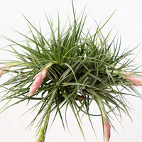 LARGE Air Plant Clump Tillandsia Stricta, Hanging Air Plant, Indoor Plants House Plant, Wholesale Tillandsia, Hanging Plant, Tropical Plants