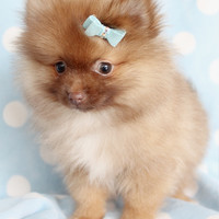 Teacup Pomeranian Puppy For Sale at TeaCups Puppies South Florida