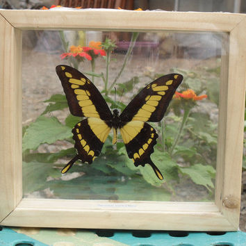 REAL  papilio thoas cinyras BUTTERFLY Taxidermy Double Glass in Frame /BFD01E