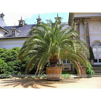 10 Seeds - Phoenix canariensis HARDY CANARY ISLANDS DATE PALM Seeds!Outdoor plants tree
