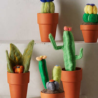 Wooly Cacti