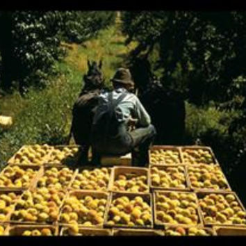 Hauling Crates of Peaches: Fine art canvas print (12 x 18)