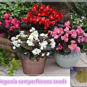Begonia Flower (Begonia semperflorens) seeds Home Garden flower bed Plant  Seeds Potted bonsai 10pcs/bag Pelleted Seeds